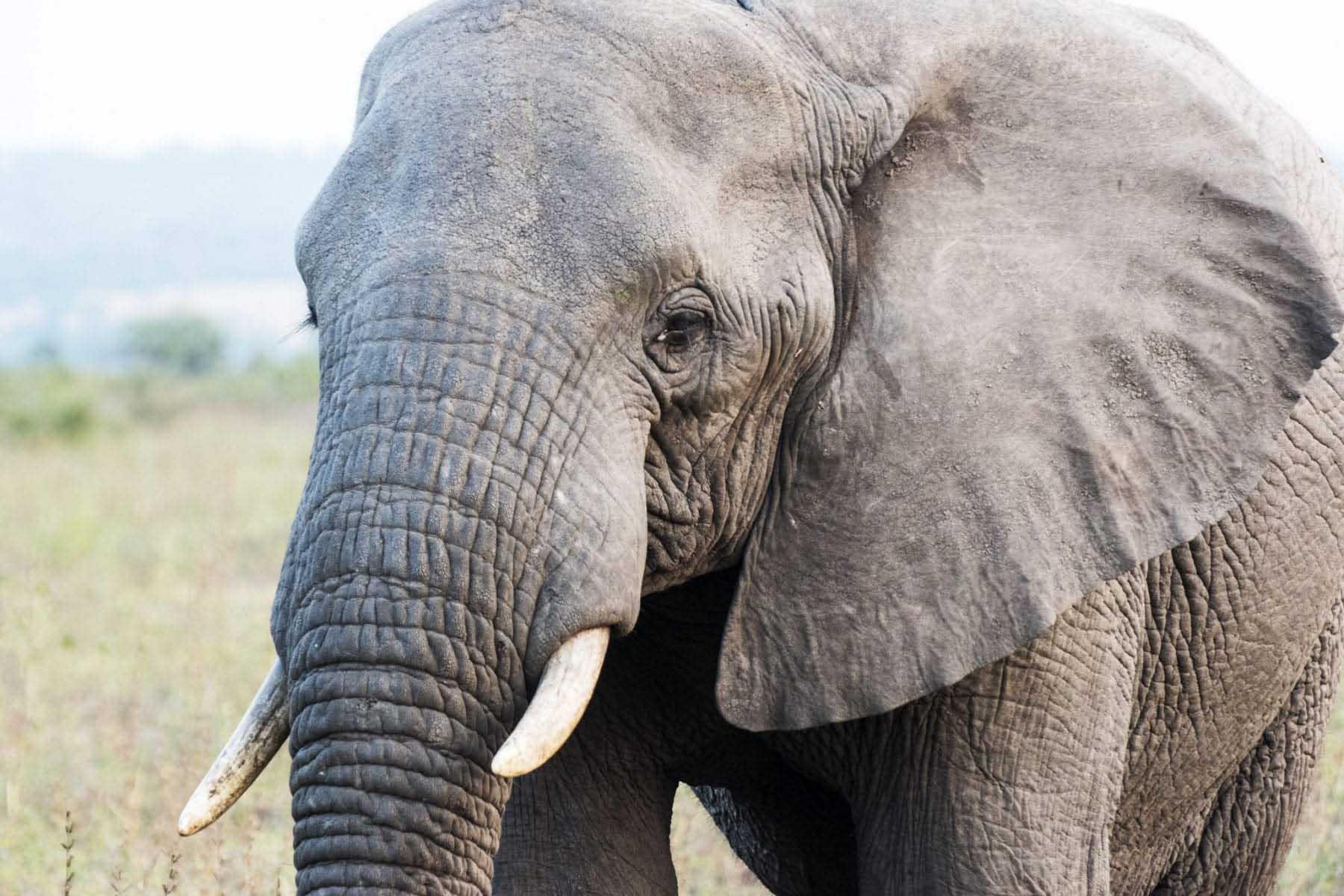 Elefant, safari Sydafrika, Östra Kap