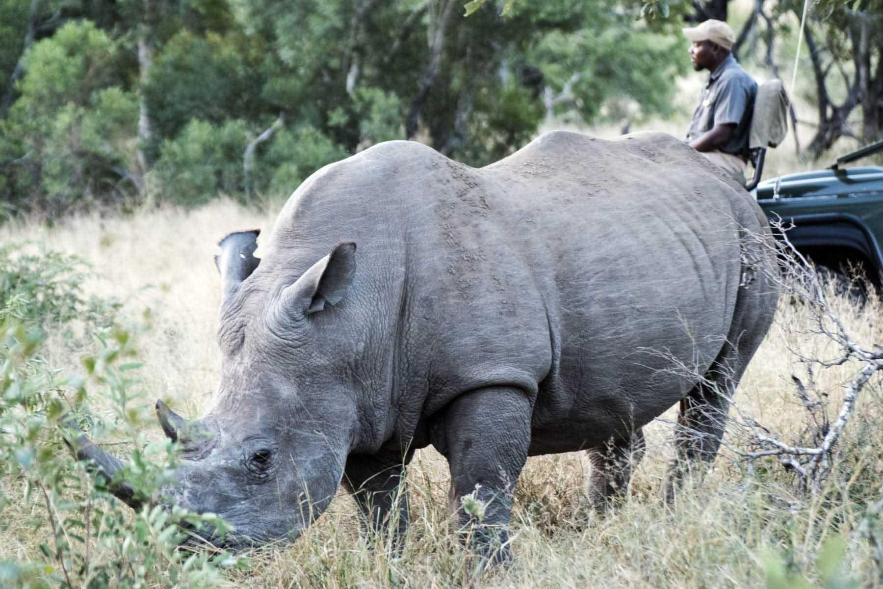 rhino noshörning Krugerparken safari