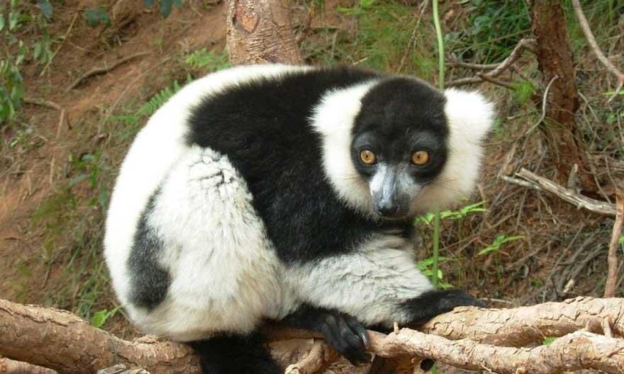 lemur-andasibe