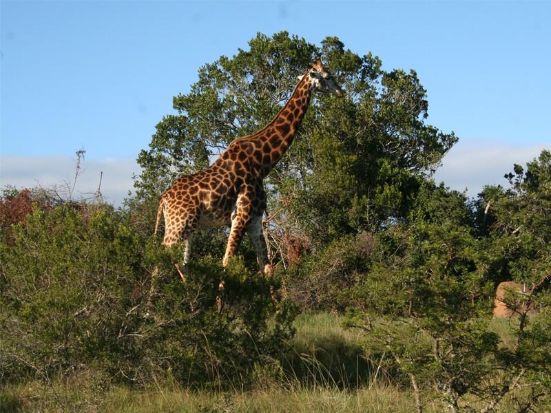 amakhala-giraff