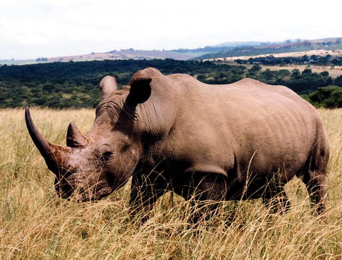 south_africa_rhino_29