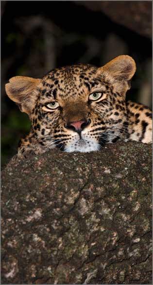 leoface