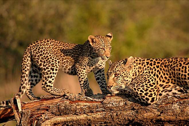 Leopard-facing-on-log
