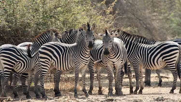 zebror.jpg