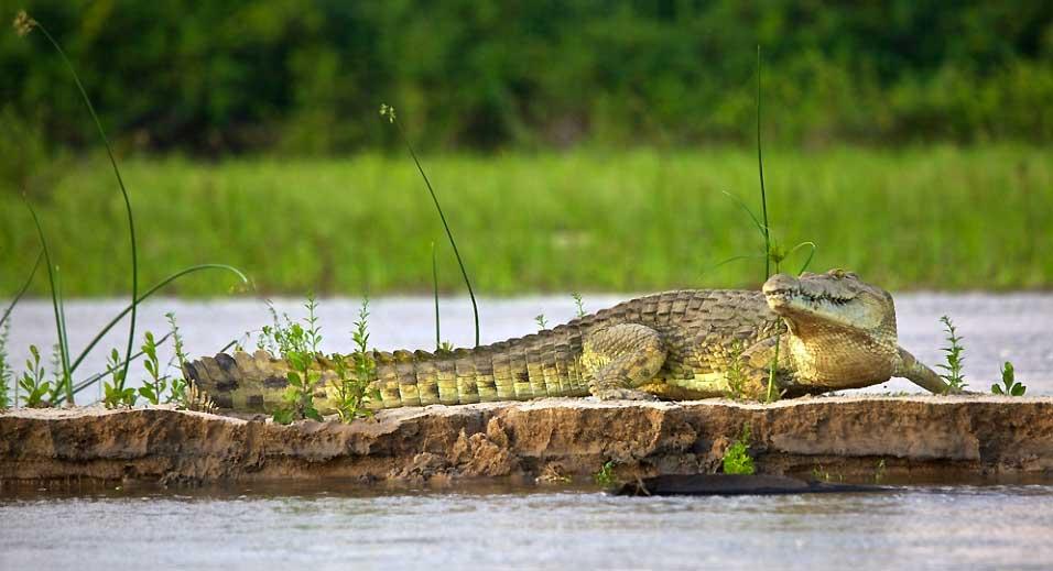 rufiji-krokodil