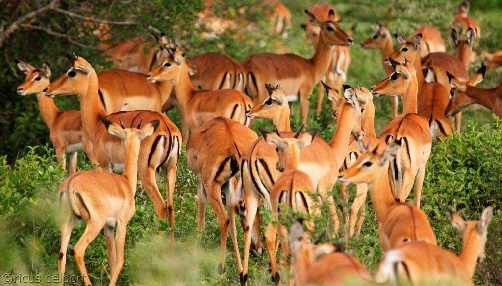 siwandu-Impala