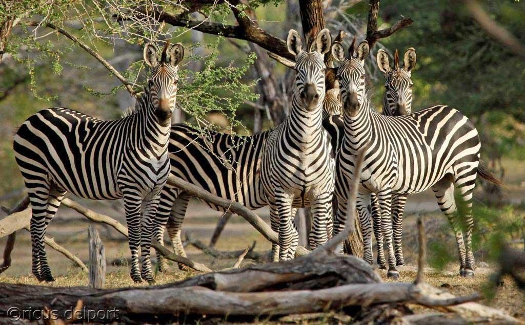 siwandu-zebra