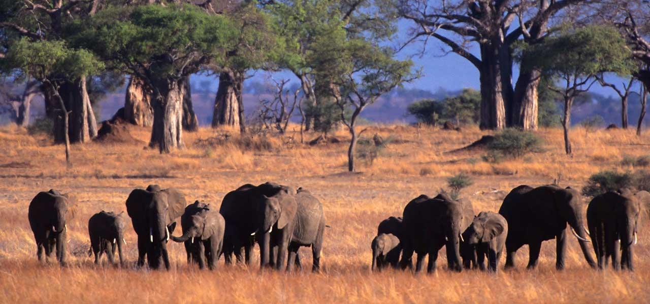 tarangireelefanter