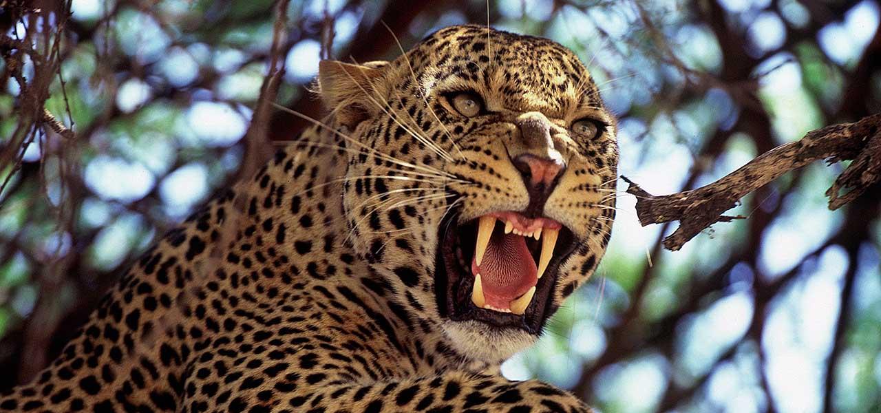 leopard Tarangire, safari Tanzania