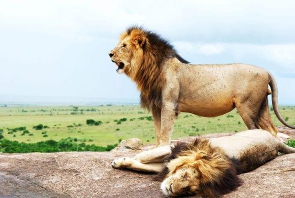 Lions in Masai Mara lejon big five