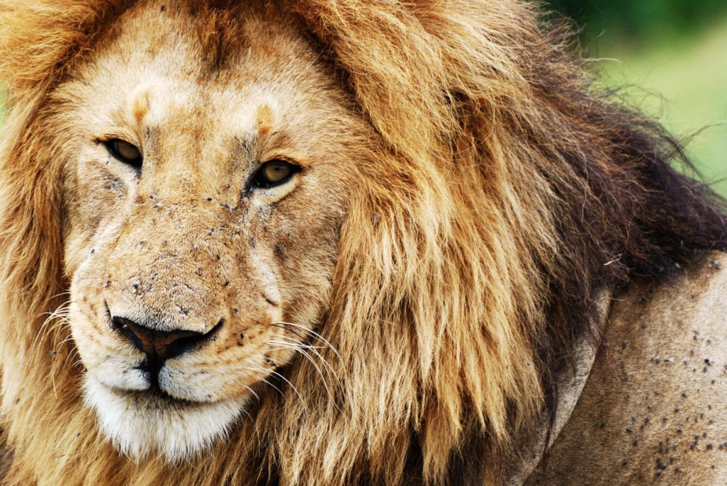 på safari i Kenya, i Masai Mara kan du se en lejonhane nära som på bilden