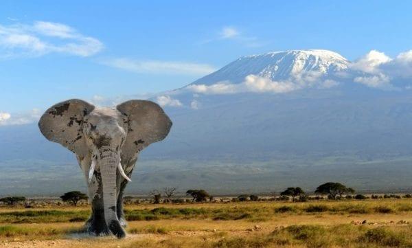 En elefant framför Kilimanjaro, bilden är tagen på safari i Kenya, i nationalparken Amboseli