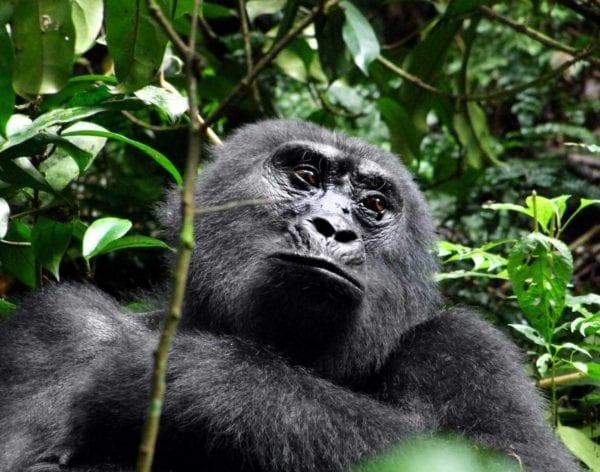 bergsgorilla Uganda, safari i Afrika