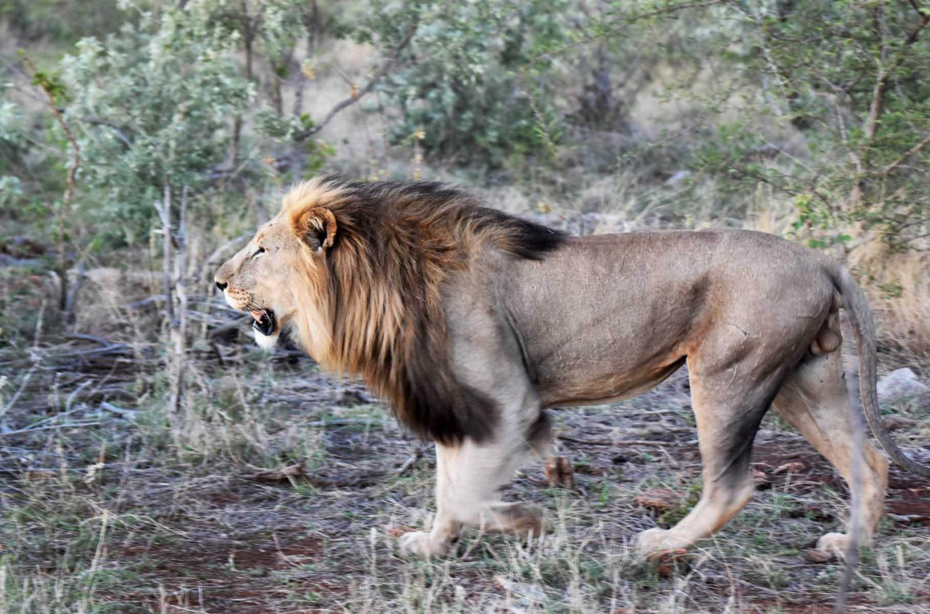 En lejonhane strosar i privata reservatet Madikwe i Sydafrika – ett riktigt bra område för safari