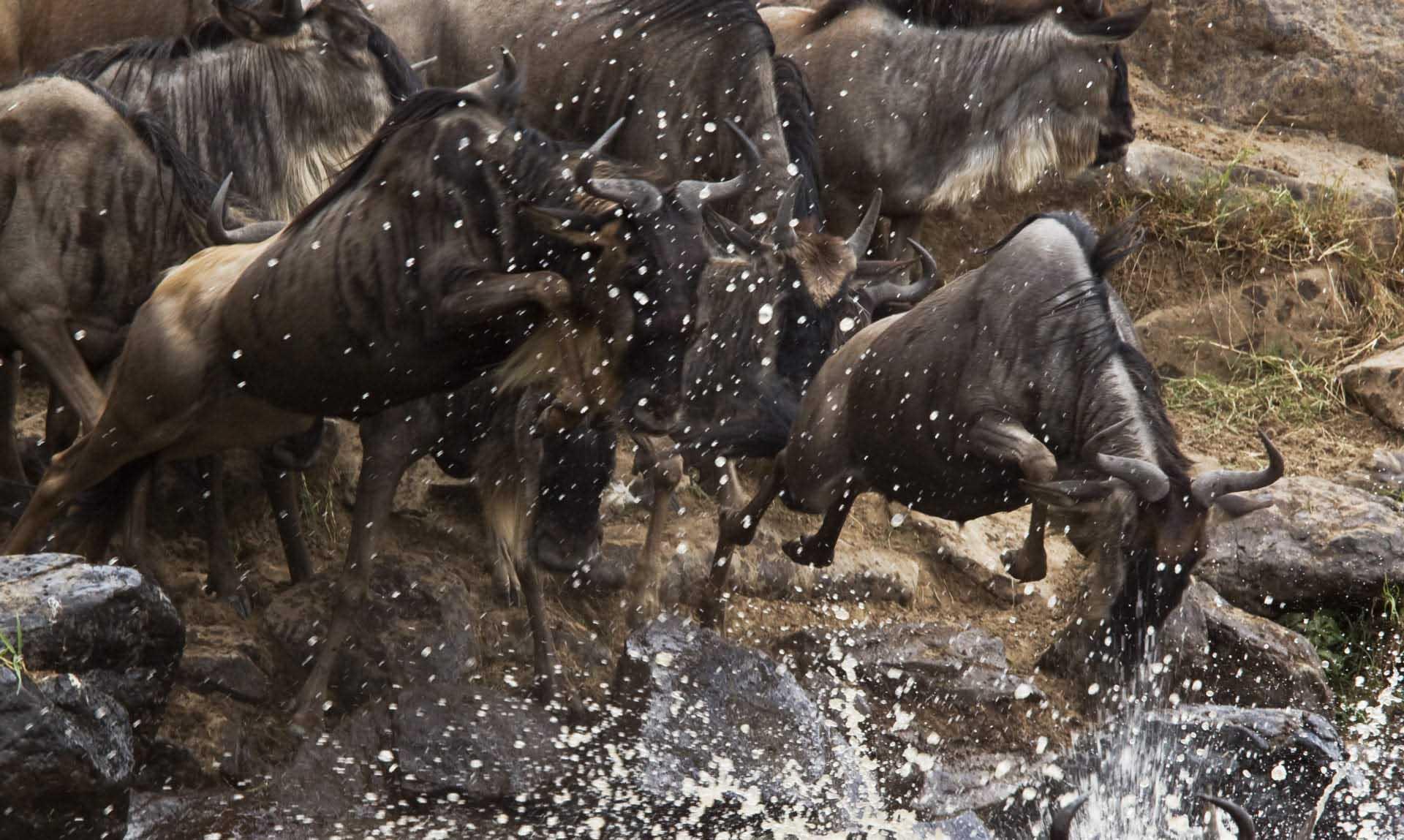 den stora migrationen i Kenya Tanzania
