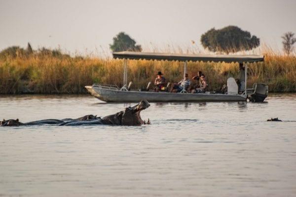 En flodhäst gapar stort framför en safaribåt på Chobefloden, en sådan liten båt åker du ut och tittar på djur med när du är på kryssning med Chobe Princess