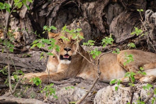 En skadad lejonhona pustar ut på stranden till Chobefloden. När du åker på kryssning med Chobe Princess är det möjligt att se lejon, elefanter och andra djur