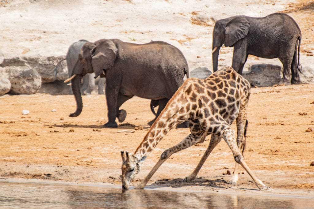 giraff Chobefloden, Chobe Princess