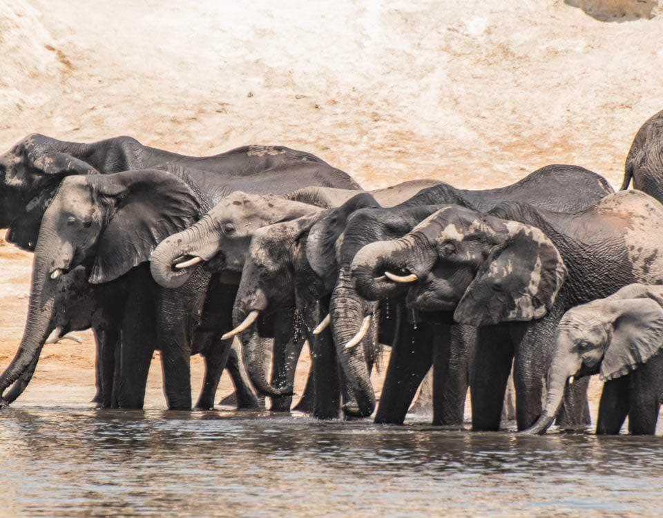 Elefanter på Chobefloden, sett från Chobe Princess