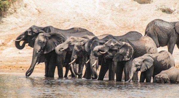 Elefanter på Chobefloden, sett på kryssning med Chobe Princess