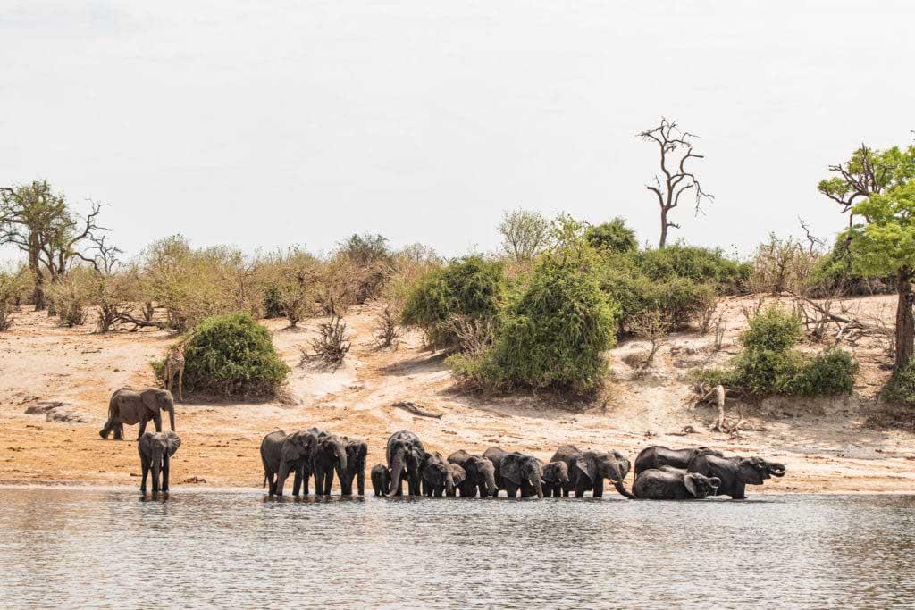 Chobefloden, elefanter, Chobe Princess