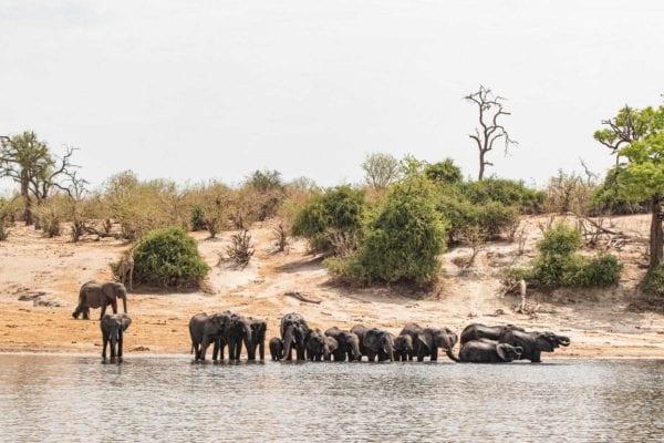 Ett tiotal elefanter står vid flodkanten (Chobefloden) och dricker. Elefanterna syns från fören på vår kabin på kryssning med Chobe Princess