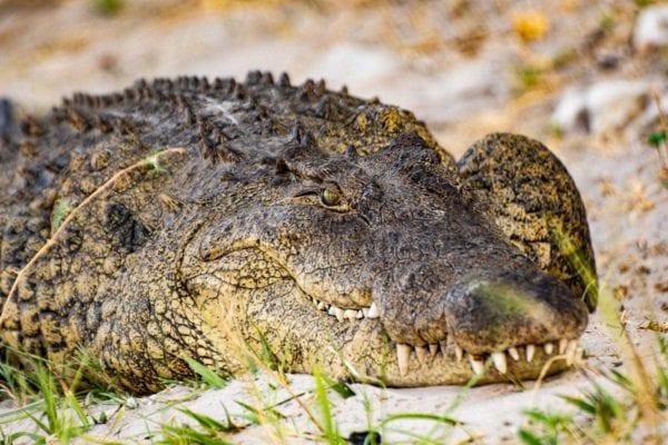 Närbild på en krokodil som ligger blickstilla på strandkanten. Vi såg den här krokodilen när vi var på kryssning med Chobe Princess på Chobefloden mellan Namibia och Botswana.
