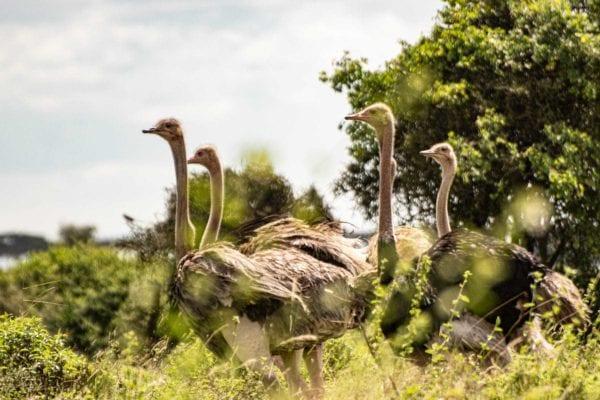 safari nära stan, Nairobi National Park, ostriches strutsar