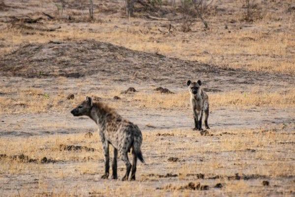 Hyenor i Hwange National Park, Zimbabwe