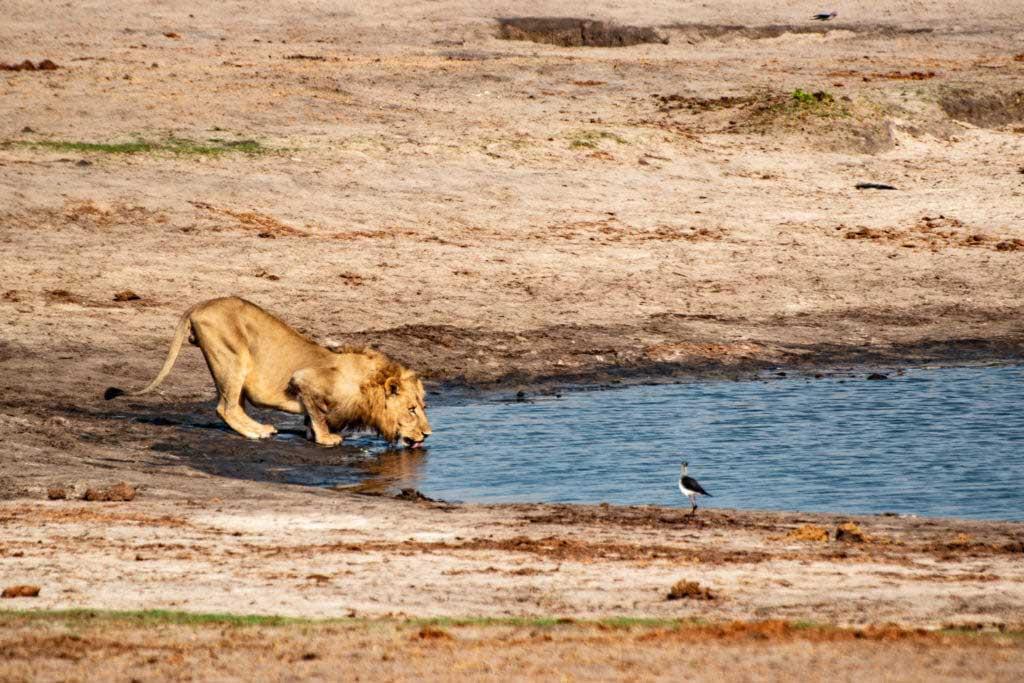 lejonhane dricker i Hwange National Park, Zimbabwe