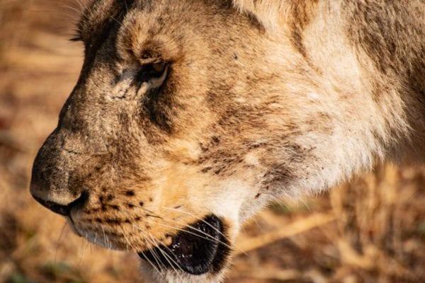 Lejonhona i Hwange National Park, Zimbabwe