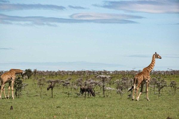 två giraffer och några gnuer mumsar på och runt akaciaträden vid landningsbanan, inte en ovanlig syn på safari i Mara naboisho
