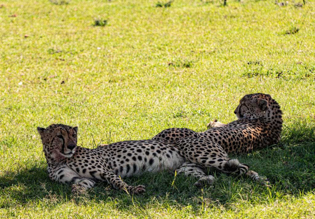 safari i Mara Naboisho gepard geparder