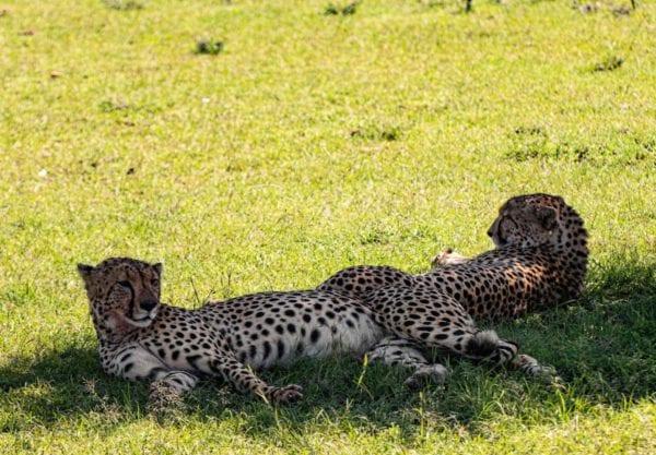 två geparder skyddar sig från solen på safari i Mara Naboisho