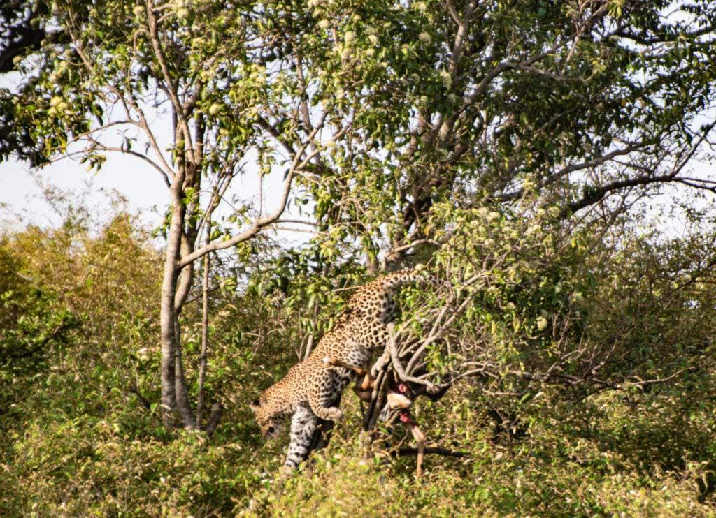 safari i Mara Naboisho