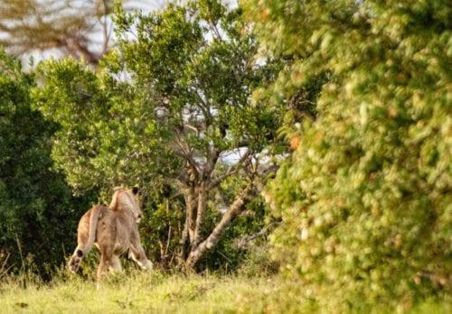 en lejonhona i full fart bort från kameran. safari i Mara Naboisho