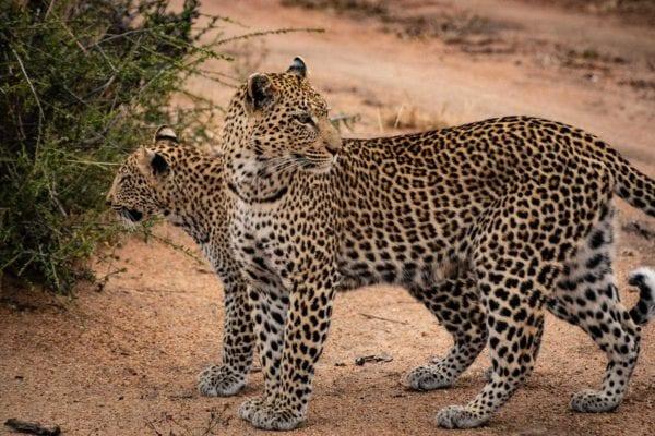 En leopardhona och hennes unge i närbild. På safari i nationalpark är risken att du inte kommer lika nära djuren som du gör i ett privat reservat.