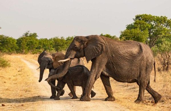 Elefanter i Hwange National Park, Zimbabwe