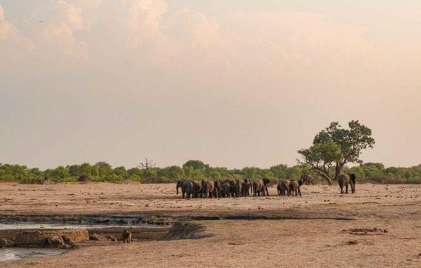elefanter i Hwange National Park i Zimbabwe