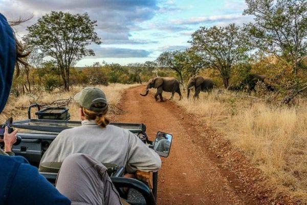 En kvinnlig guide kör en safaribil. På vägen framför henne korsar elefanterAllt du behöver veta om safari i Afrika
