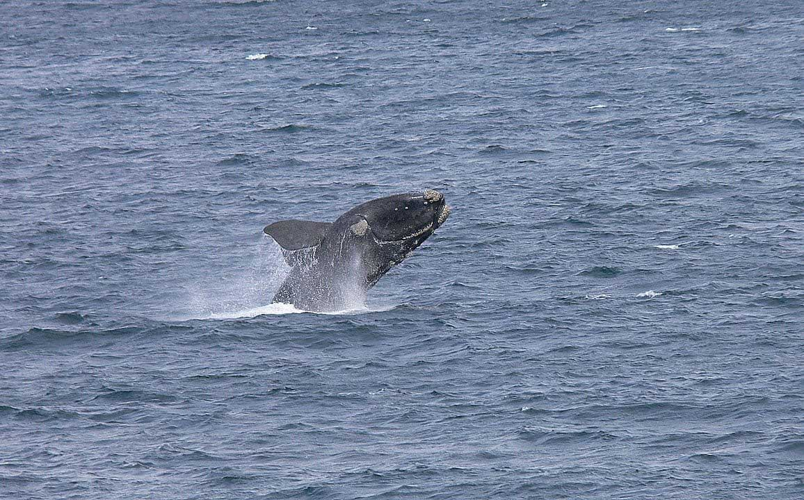 valar i Sydafrika, Sydkapare, Southern Right Whale