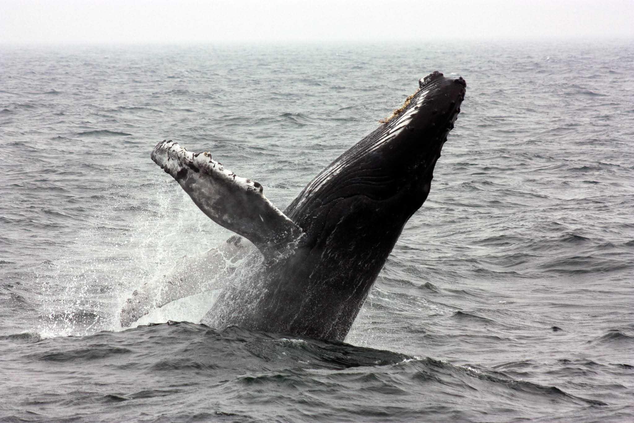 valar i Sydafrika, knölval, humpback whale