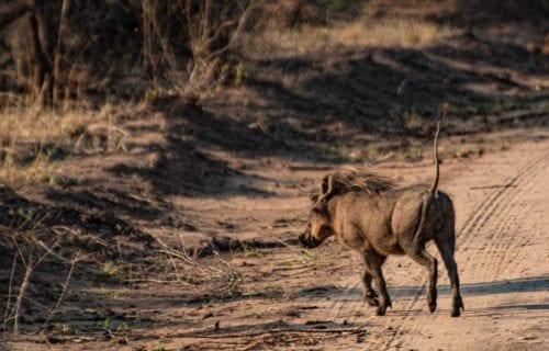 Ett vårtsvin springer över en väg, svansen pekar uppåt. En syn du kan se om du följer hashtaggen soffsafari i sociala medier.