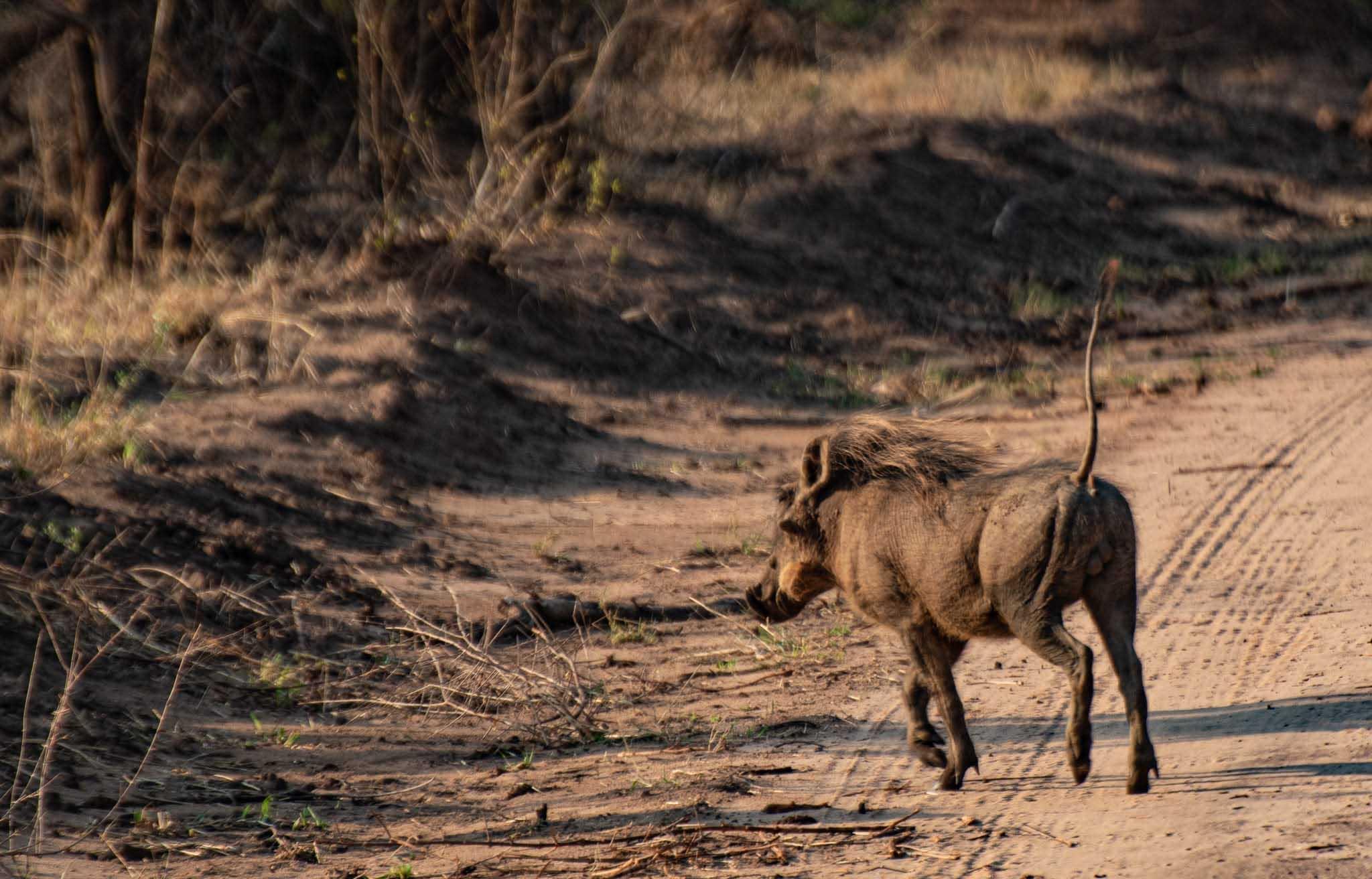 soffsafari warthog vårtsvin