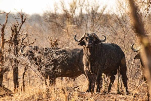 soffsafari, sofa safari, buffalo