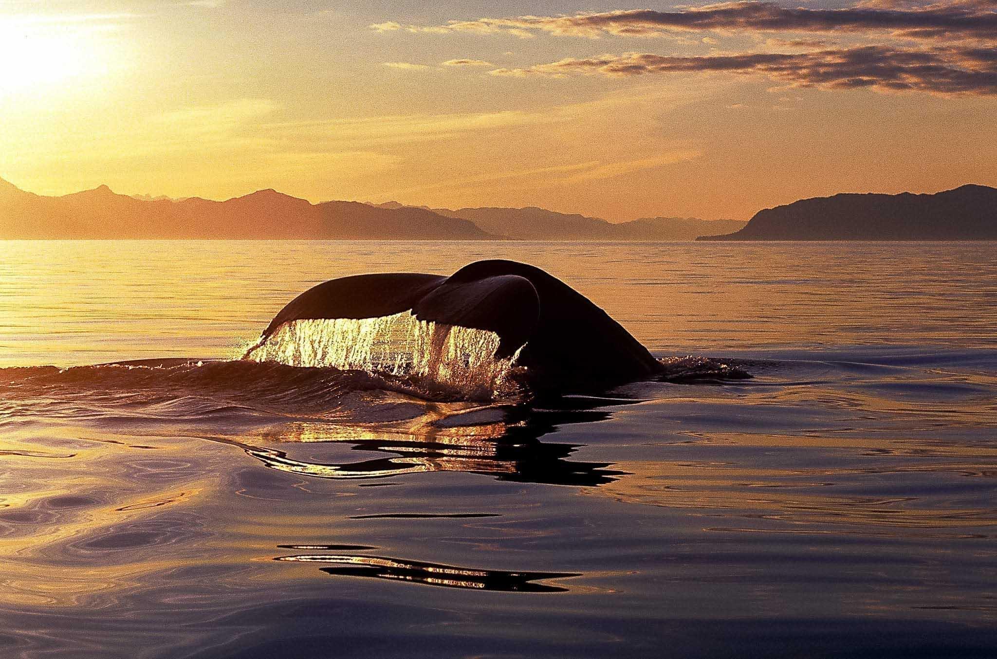 valar i Afrika, knölval, humpback whale