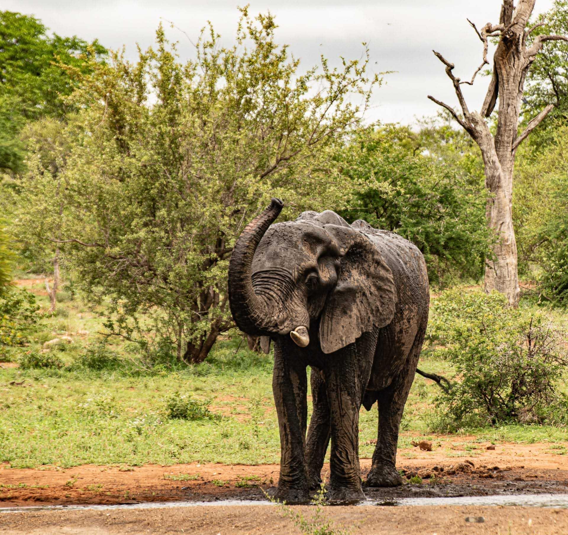 hjälpa vilda djur i coronadrabbade Afrika, elefant