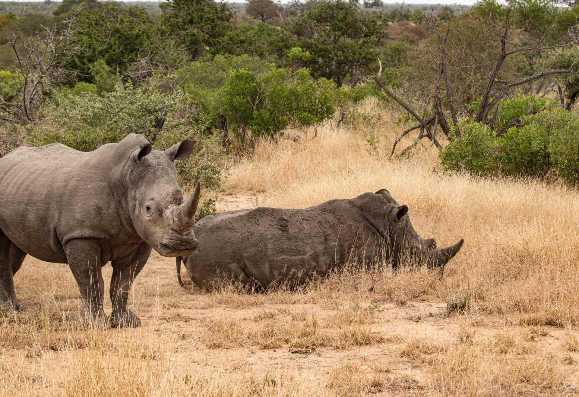 hjälpa de vilda djuren i coronadrabbade Afrika, noshörningar