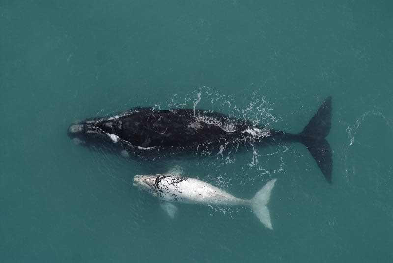 vandring nära Kapstaden, Southern Right Whale