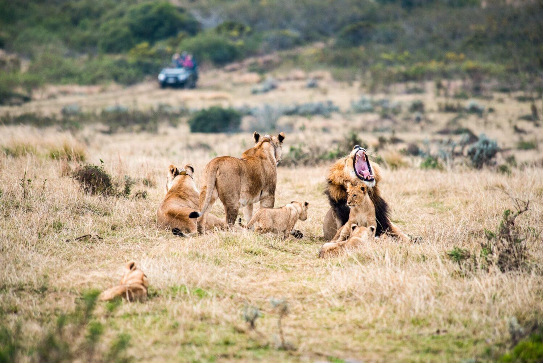 Lejonhane gäspar, lejonhona tittar på safaribil och lejonungar lekar på Gondwana Game Reserve